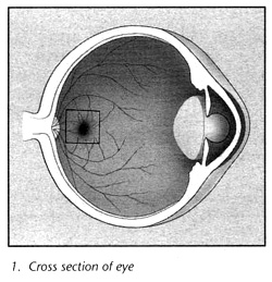 Cross section of eye