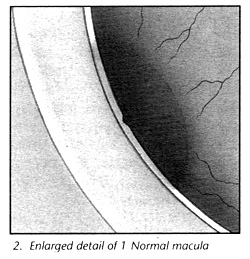Enlarged detail of normal macula